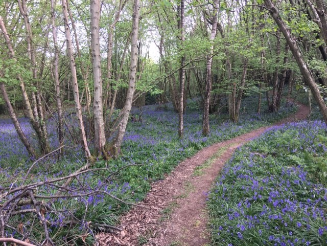Bluebells in Whiteland Wood