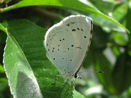 Holly Blue Westfield 5July2